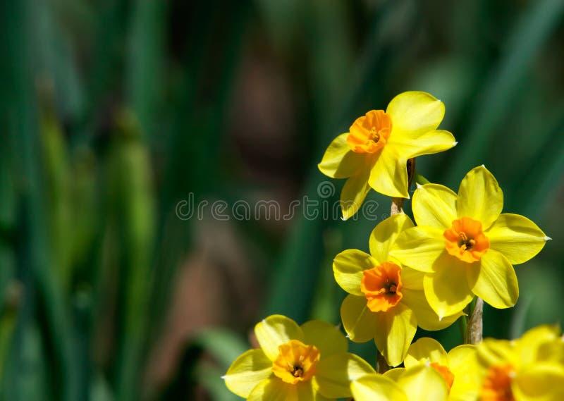 Download Daffodils imagem de stock. Imagem de flora, pétalas, morno - 530073