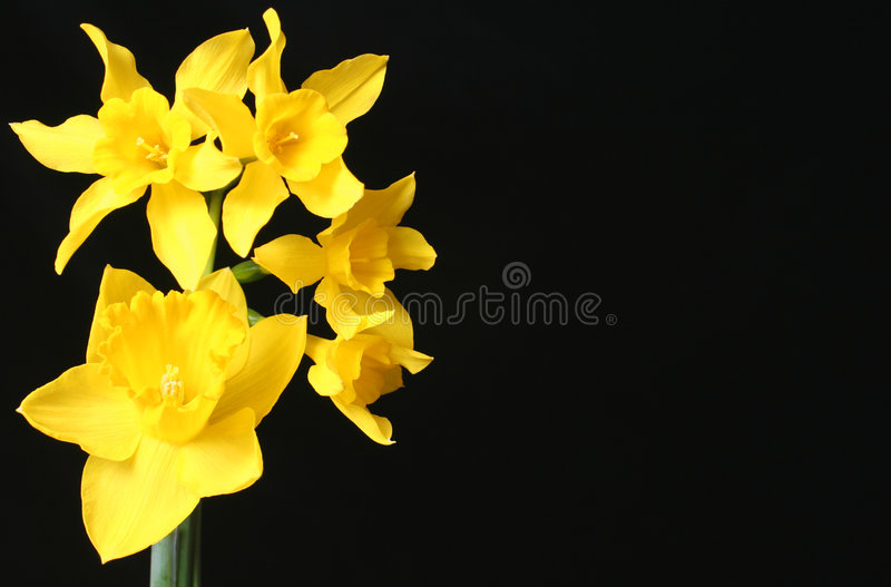 Download Daffodils stock image. Image of lily, black, decor, beautiful - 538833
