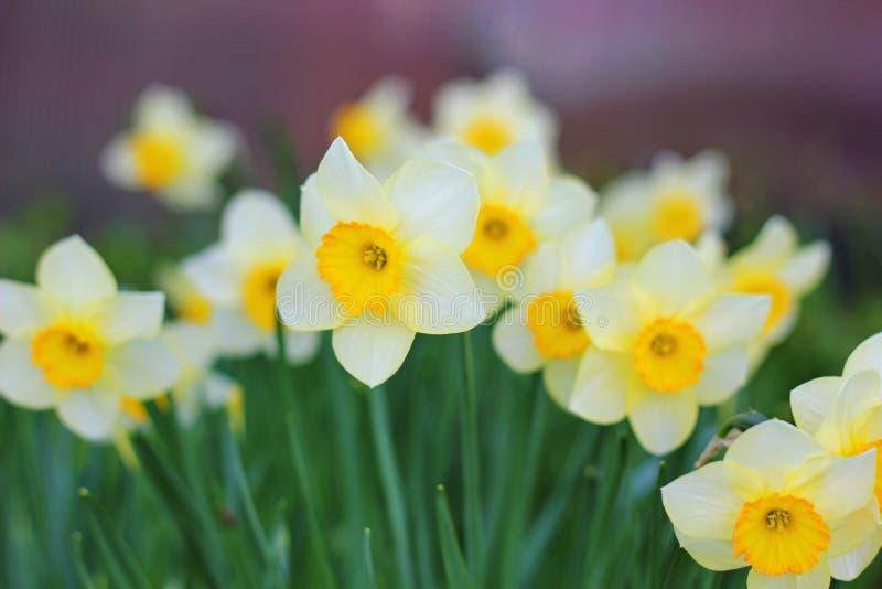 daffodils fotografia stock libera da diritti