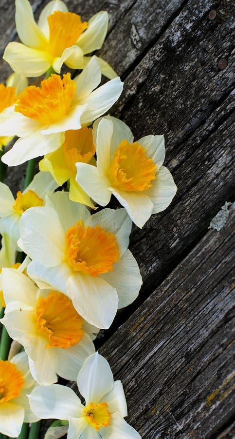 Download Daffodils zdjęcie stock. Obraz złożonej z greenbacks - 57651380