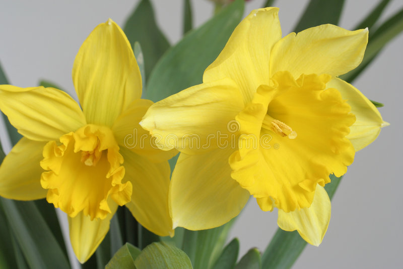 Daffodils. Two daffodils stock image