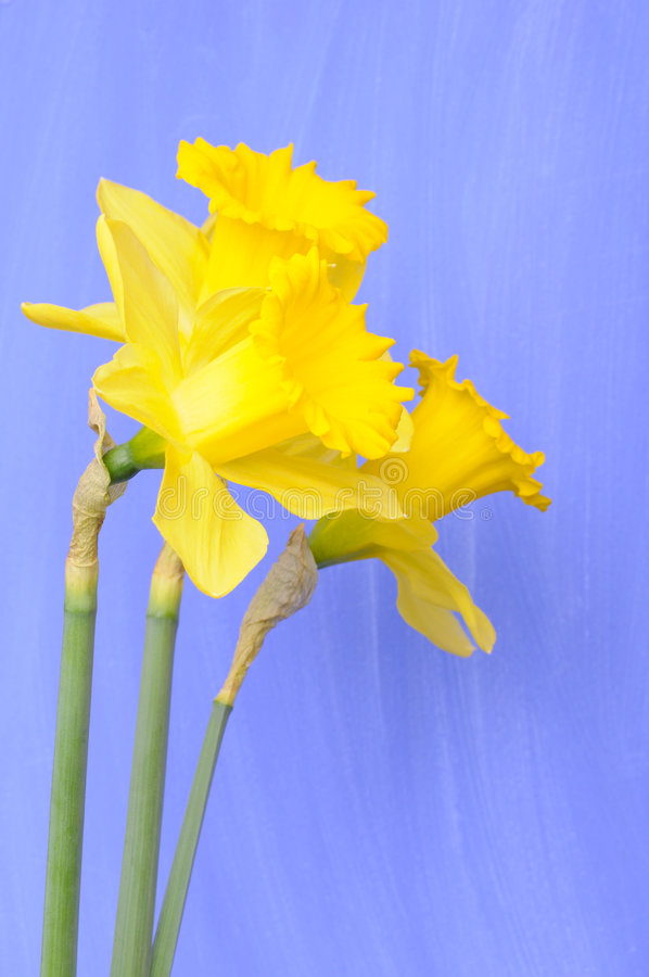 Download Daffodils stock photo. Image of easter, lily, daffodil - 6599074