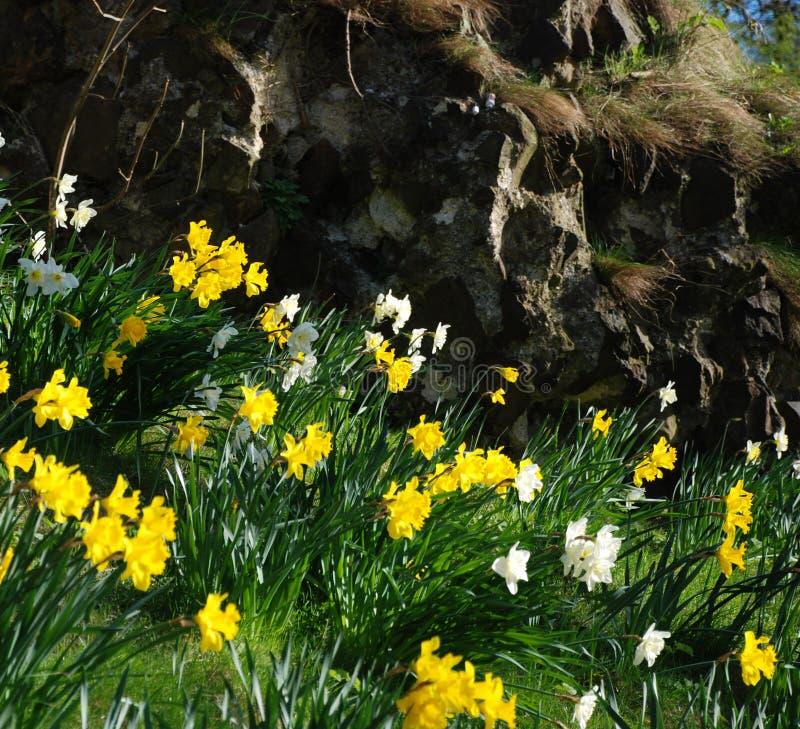Daffodils obraz stock