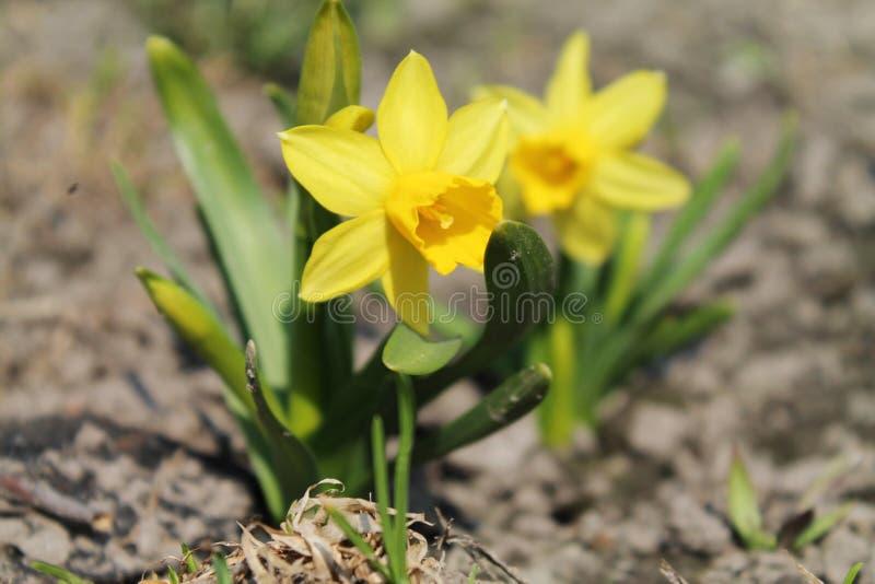 daffodils fotografie stock