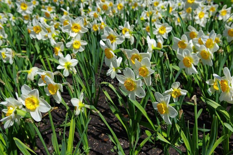 daffodils royalty-vrije stock fotografie