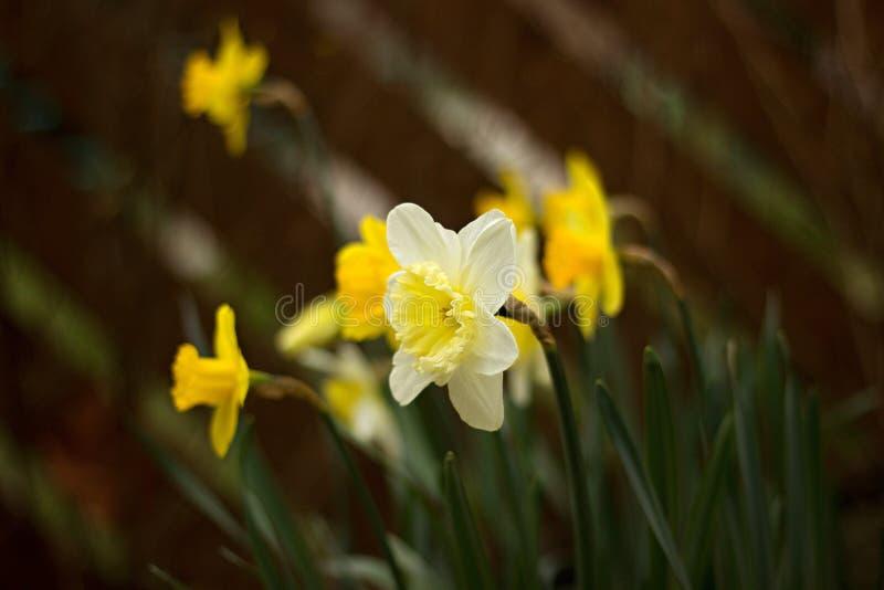 daffodils stock foto