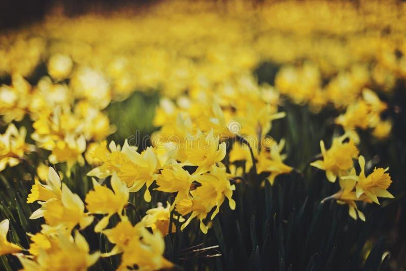 daffodils immagini stock