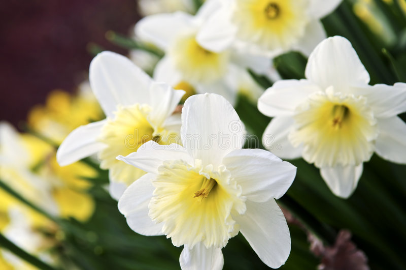 daffodils 免版税库存照片