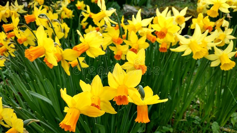 Daffodils στοκ εικόνες