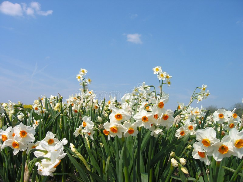 Daffodils. Field in spring-closeup and low angle view