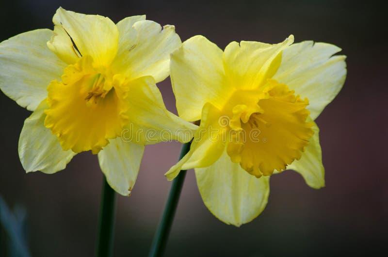 daffodils stock fotografie
