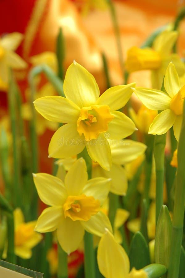 Daffodils amarelos fotos de stock royalty free