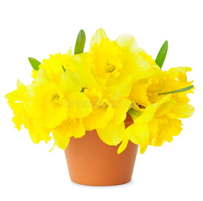 Daffodils amarelos bonitos no flowerpot isolado no branco fotografia de stock