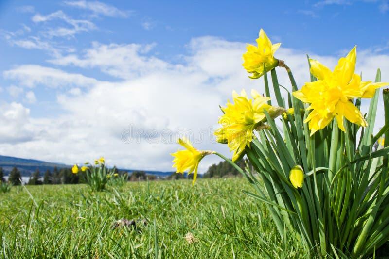 Daffodils amarelos no tempo de mola fotografia de stock