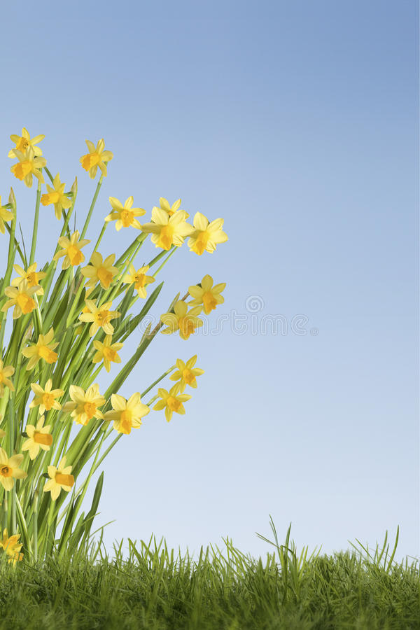 Daffodils background. Daffodils on grass field with blue sky stock photos