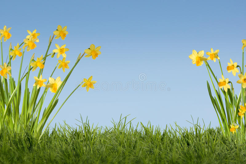 Daffodils background. Daffodils on grass field with blue sky royalty free stock photos