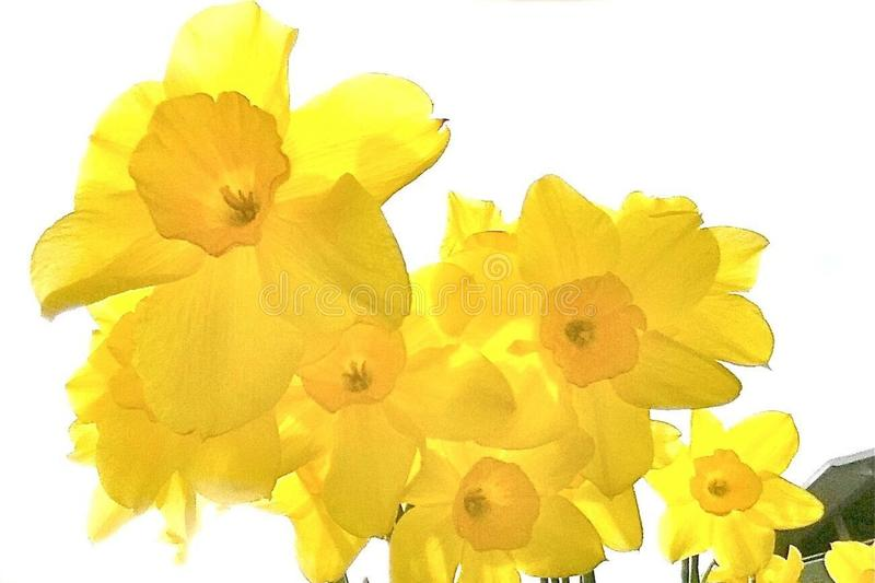 Daffodils in Backlight royalty free stock photos