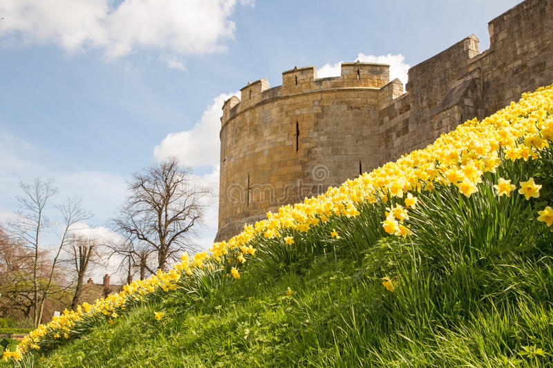 Daffodils on the bar walls in York. Near one of the towers stock photos