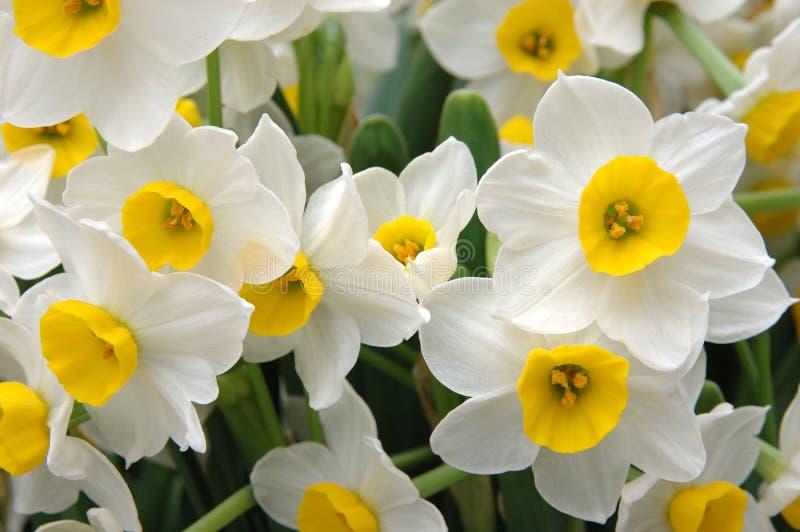 Daffodils bianchi fotografie stock libere da diritti