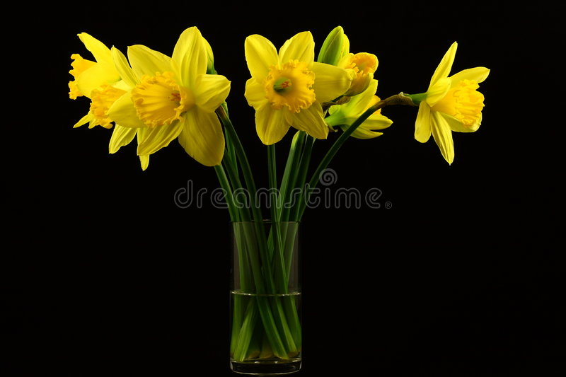 Download Daffodils On Black Stock Images - Image: 8555204