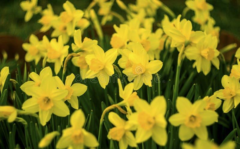 daffodils Bloemen van gele narcissen Gele gele narcisbloem in F royalty-vrije stock foto