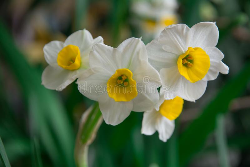 Daffodils bloom in the spring. With blurred green background, it is the flower symbol of Chinese New Year stock photography