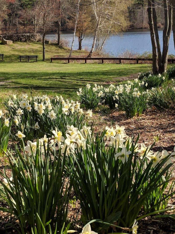 Daffodils in bloom stock photo