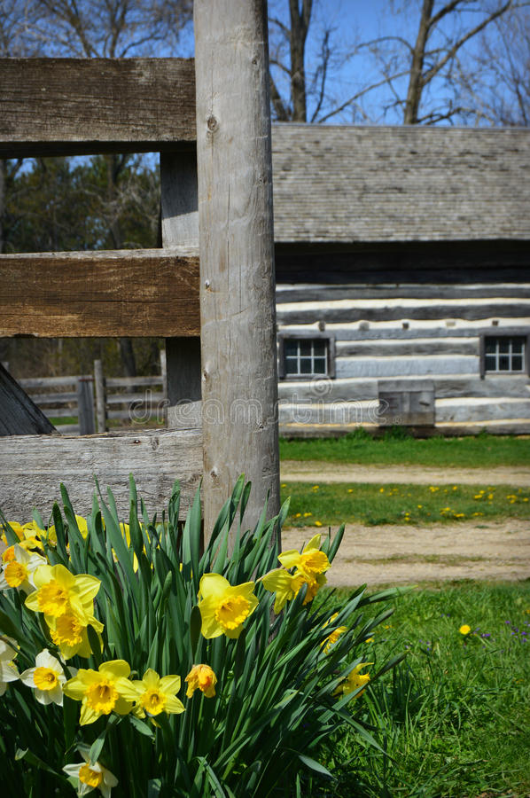 Daffodils. Blooming in front of a fence and historical barn at Old World Wisconsin in Eagle, WI royalty free stock photos