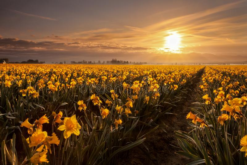 Daffodils blooming in Mount Vernon at sunrise. Daffodils blooming in Mount Vernon, Washington at sunrise stock photo