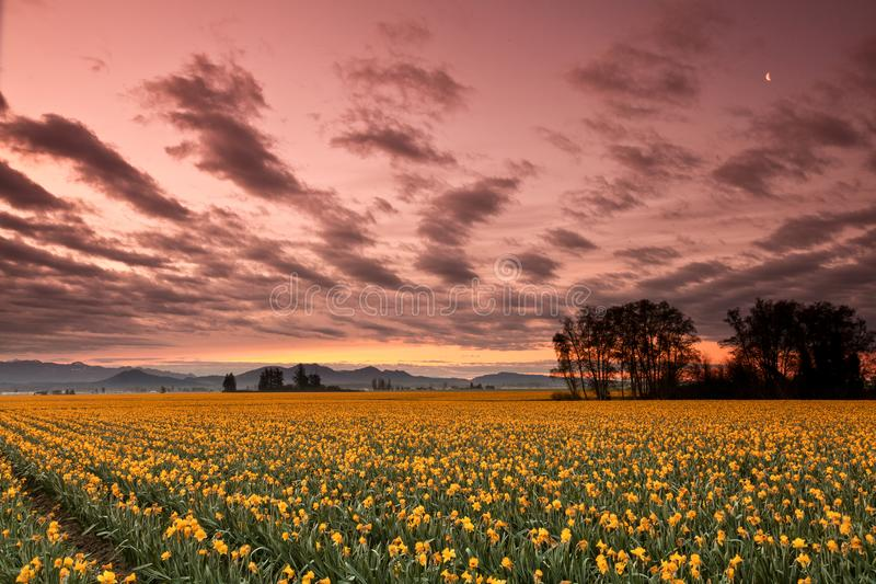Daffodils blooming in Mount Vernon at sunrise. Daffodils blooming in Mount Vernon, Washington at sunrise with a pink sky royalty free stock image