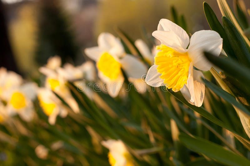 Daffodils blooming in spring royalty free stock images