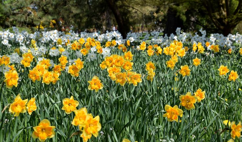 Daffodils blooming, white and yellow spring flowers in the garden stock image