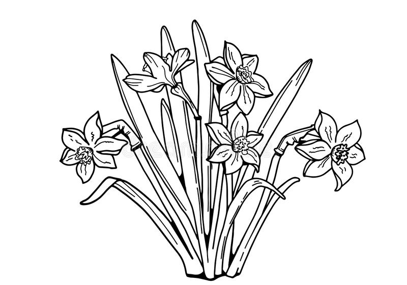 Daffodils Bouquet of flowers . Black and white image. royalty free stock photo