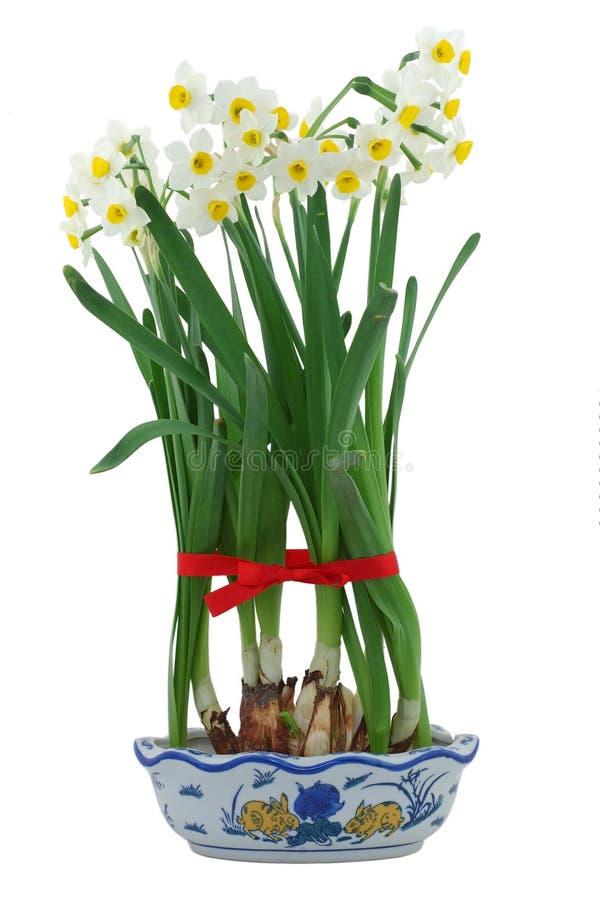 Daffodils brancos no vaso imagens de stock