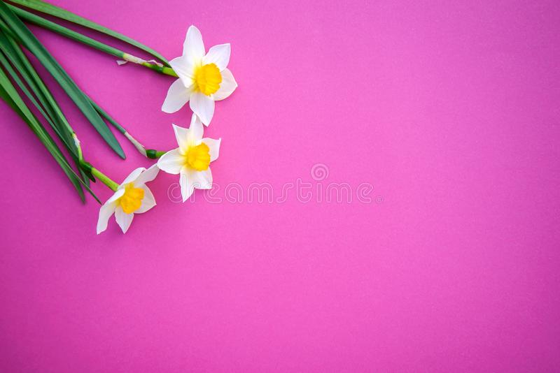 Daffodils on on a bright pink background. Beautiful three white with yellow daffodils on a bright pink background with copy space stock photography