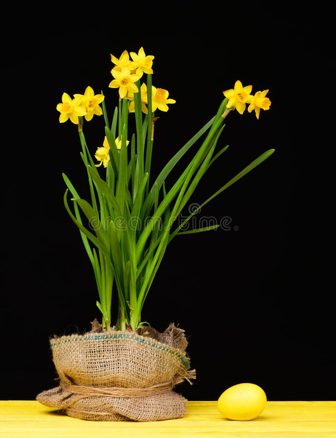 Daffodils of bright yellow colour and fresh green leaves. Growing in a pot covered with sackcloth and big yellow Easter egg on solid surface isolated on black stock photography