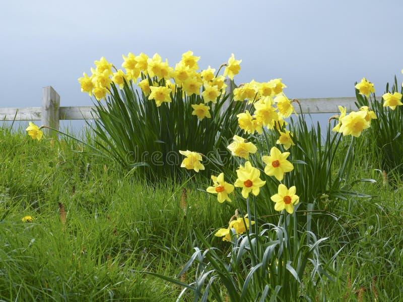 Daffodils. Bunch of Daffodils on bank royalty free stock image