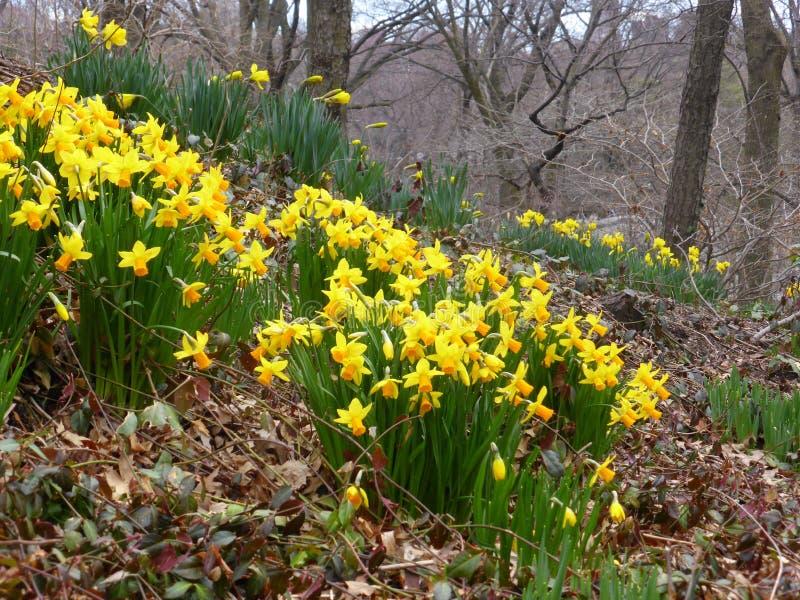 Daffodils Central Park стоковая фотография