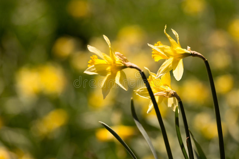 Daffodils closeup royalty free stock photography