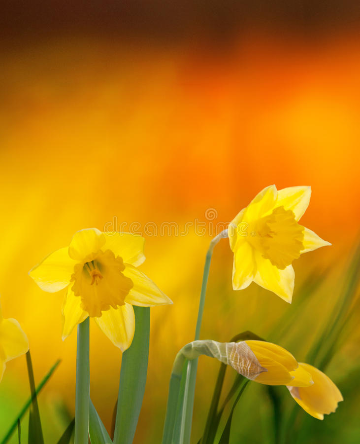 Daffodils on colorful background. Yellow daffodils on colorful orange background stock photos