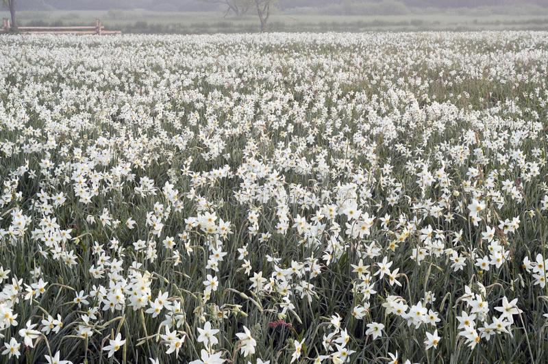 Daffodils at dawn. Daffodils on rasvete in Hust Valley, Transcarpathia, Ukraine. Large field of ancient relict flowers - a national landmark in the region royalty free stock photos
