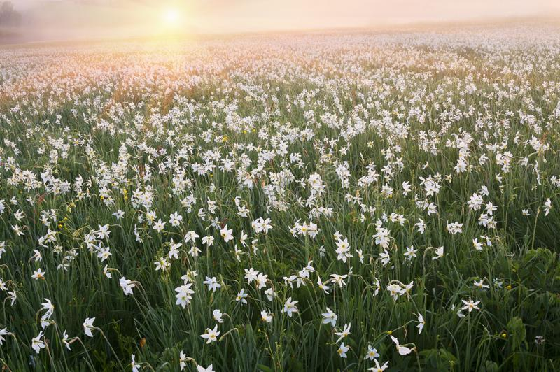 Daffodils at dawn. Daffodils on rasvete in Hust Valley, Transcarpathia, Ukraine. Large field of ancient relict flowers - a national landmark in the region stock images