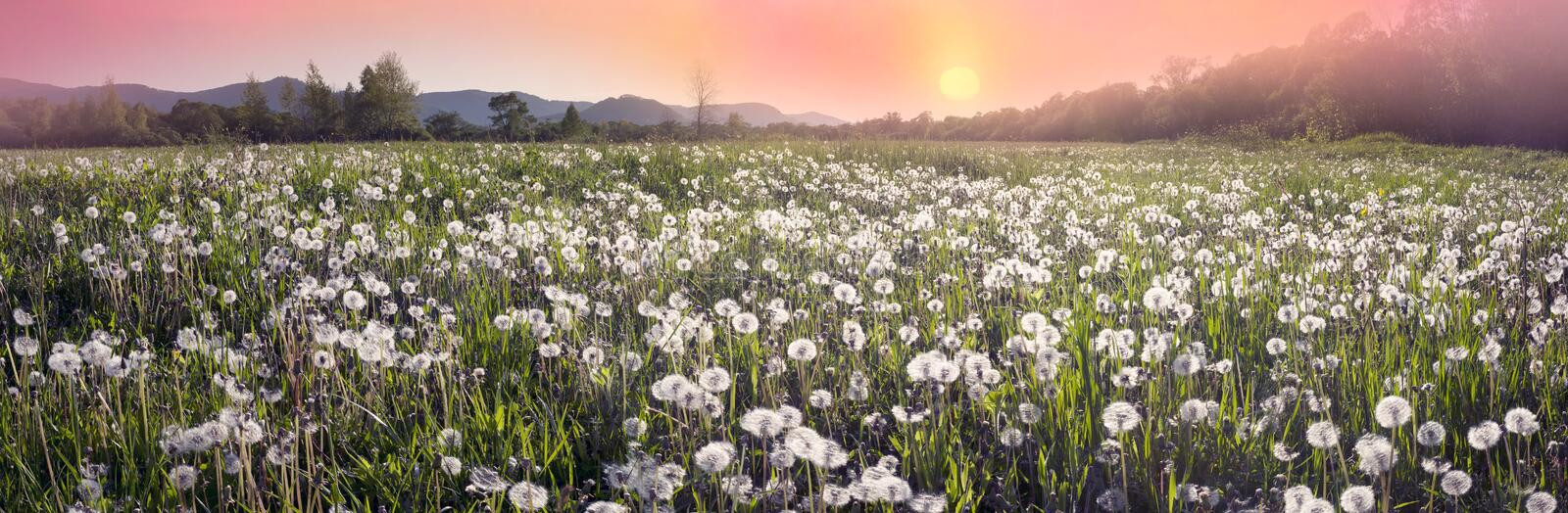 Daffodils at dawn. Daffodils on rasvete in Hust Valley, Transcarpathia, Ukraine. Large field of ancient relict flowers - a national landmark in the region royalty free stock image
