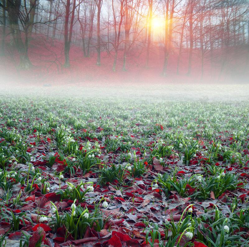 Daffodils at dawn. Daffodils on rasvete in Hust Valley, Transcarpathia, Ukraine. Large field of ancient relict flowers - a national landmark in the region royalty free stock photography