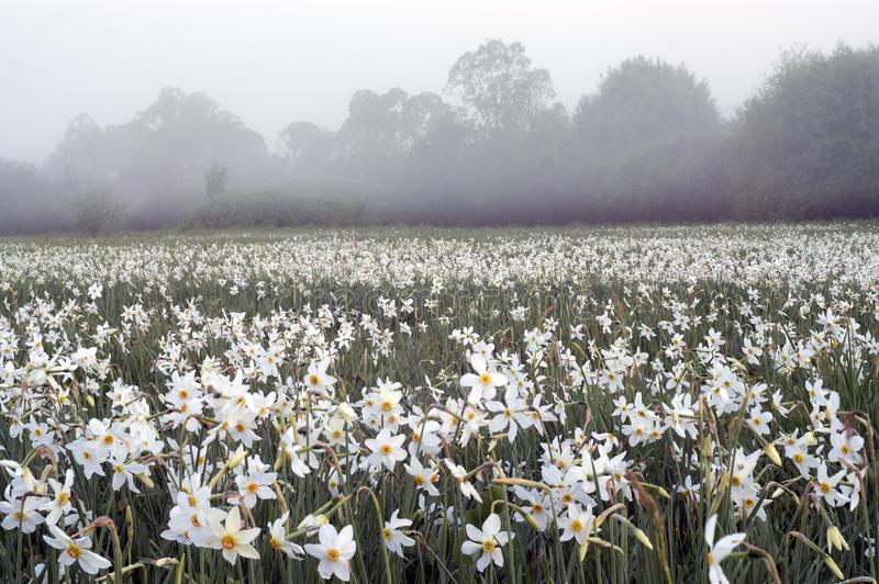 Daffodils at dawn. Daffodils on rasvete in Hust Valley, Transcarpathia, Ukraine. Large field of ancient relict flowers - a national landmark in the region stock photo