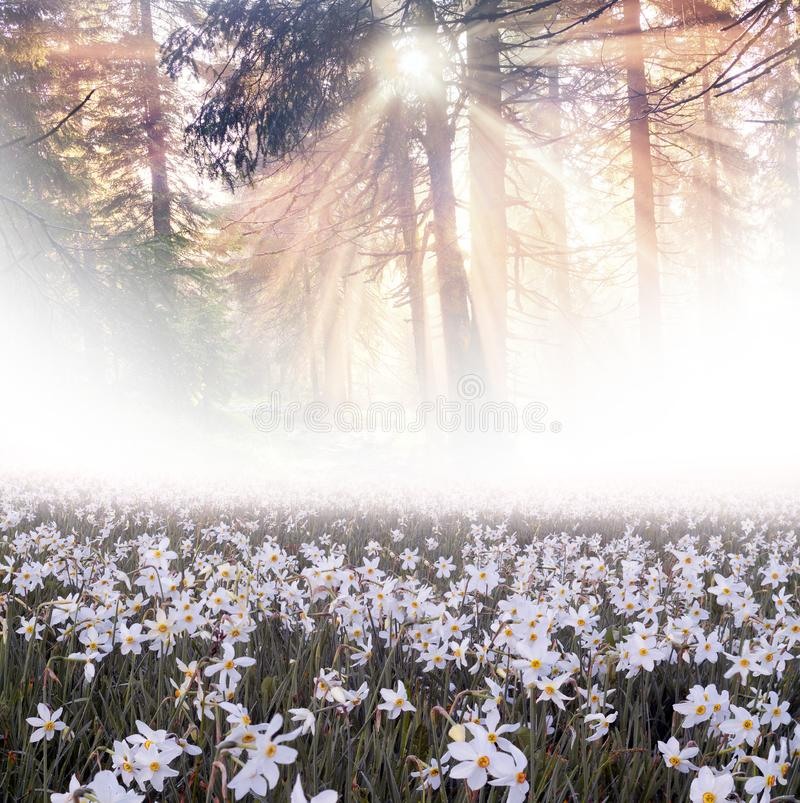 Daffodils at dawn. Daffodils on rasvete in Hust Valley, Transcarpathia, Ukraine. Large field of ancient relict flowers - a national landmark in the region stock image