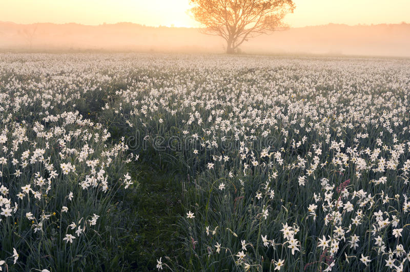 Daffodils at dawn. Daffodils on rasvete in Hust Valley, Transcarpathia, Ukraine. Large field of ancient relict flowers - a national landmark in the region royalty free stock photo