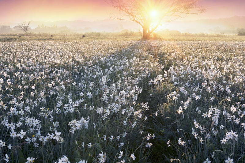Daffodils at dawn. Daffodils on rasvete in Hust Valley, Transcarpathia, Ukraine. Large field of ancient relict flowers - a national landmark in the region stock photos
