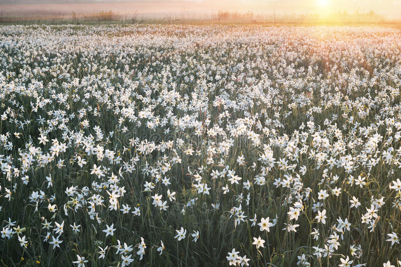 Daffodils at dawn. Daffodils on rasvete in Hust Valley, Transcarpathia, Ukraine. Large field of ancient relict flowers - a national landmark in the region royalty free stock images