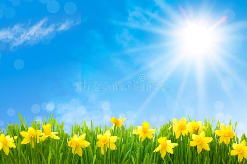 Daffodils de encontro ao céu azul foto de stock royalty free